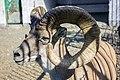قوچ و میش -باغ وحش مشهد-Ovis in zoo in iran.jpg