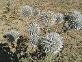 نمونه ای دیگر از گیاهان کوهی اوغاز.jpg