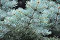 ნაძვი ჩხვლეტია Picea pungens Blaufichte (2).JPG