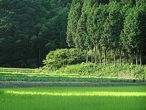 Satoyama - Satoyama landscape of paddy field and cryptomeria and Chamaecyparis obtusa forest in Sasayama, Hyōgo