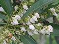台灣馬醉木 Pieris taiwanensis -台北國父紀念館 Taipei, Taiwan- (9227079661).jpg
