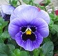 大花三色堇 Viola wittrockiana Joker -香港花展 Hong Kong Flower Show- (9198132957).jpg
