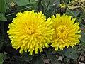 新疆貓兒菊 Hypochaeris maculata -哥本哈根大學植物園 Copenhagen University Botanical Garden- (36744793662).jpg