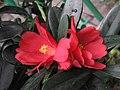 杜鵑紅山茶 Camellia azalea -香港動植物公園 Hong Kong Botanical Garden- (9204834547).jpg