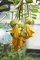 槐屬 Sophora chrysophylla -日本大阪鮮花競放館 Osaka Sakuya Konohana Kan, Japan- (40419254120).jpg