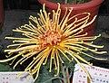 菊花-紅衣金鉤 Chrysanthemum morifolium 'Red Coating Golden Hooks' -中山小欖菊花會 Xiaolan Chrysanthemum Show, China- (12049701464).jpg