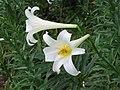 野百合(淡紫百合) Lilium brownii -香港維多利亞公園 Victoria Park, Hong Kong- (9237477159).jpg