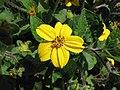 金星菊 Chrysogonum virginianum -維也納大學植物園 Vienna University Botanical Garden- (28484237446).jpg