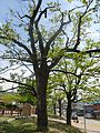 진안이팝나무 1.jpg