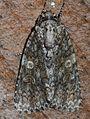 - 9254 – Acronicta afflicta – Afflicted Dagger Moth (15038853722).jpg