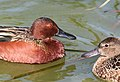 033 - CINNAMON TEAL (3-26-13) mustang island, nueces co, tx (9) (8711192719).jpg