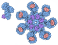 177-Apoptosomes human apoptosome.png