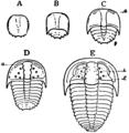1911 Britannica-Arachnida-Sao hirsuta.png