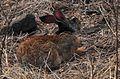 2012-10-26-Mauritius - Lepus nigricollis - Lièvre indien - L1309RrW.jpg