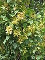 20130921Carpinus betulus1.jpg