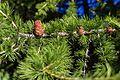 2014-07-03 Larix decidua cone & foliage, Valle di Cogne, Italian Alps.jpg