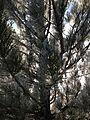 2014-12-18 08 57 17 Rime on pine boughs after freezing fog in Elko, Nevada.JPG