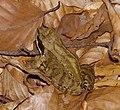 2014.07.17.-27-Zadlitzgraben Pressel--Grasfrosch-Weibchen.jpg