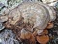 2015-02-07 Ganoderma australe (Fr.) Pat 508520.jpg