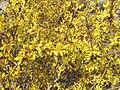 2015-03-16 14 46 29 Forsythia blossoms on Aspen Way in Elko, Nevada.JPG