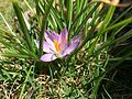 2015-04-12 13 14 04 Purple crocus blossom on Terrace Boulevard in Ewing, New Jersey.jpg