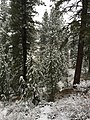 2015-11-02 07 32 50 Snow-covered Pine trees along the Truckee River Legacy Trail during a snowstorm at Truckee River Regional Park in Truckee, California.jpg