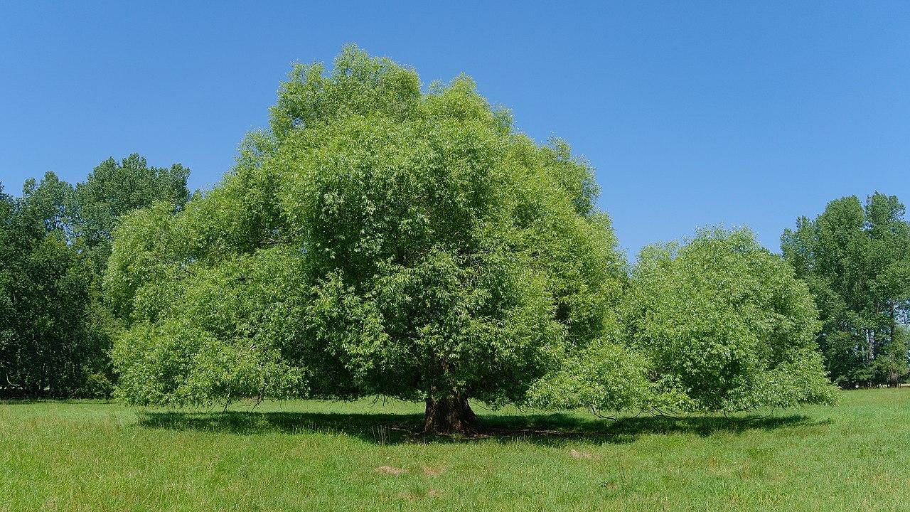 Espectacular ejemplar de sauce blanco (Salix alba).