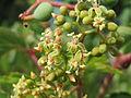 20150731Parthenocissus quinquefolia2.jpg