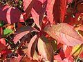20161002Parthenocissus quinquefolia04.jpg
