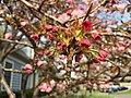 2017-04-10 17 29 08 Kanzan Japanese Cherry flowers starting to open along White Barn Lane at White Barn Court in the Franklin Farm section of Oak Hill, Fairfax County, Virginia.jpg