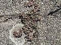 20170822Euphorbia maculata10.jpg