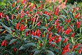 20171014 - Capsicum annuum var minimum - close-up.jpg