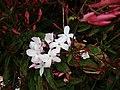 2018-03-05 Pink jasmine blossom (Jasminum polyanthum), Albufeira (2).JPG