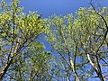 2019-04-16 16 47 38 View up into the canopy of several Tulip Trees during sprng leaf-out within Horsepen Run Stream Valley Park in Oak Hill, Fairfax County, Virginia.jpg