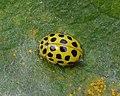 22-Spot Ladybird (Psyllobora vigintiduopunctata) - Nesodden, Norway 2020-09-20.jpg
