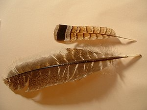 Pennaceous feather - The rectrice and remige seen above are two examples of pennaceous feathers.