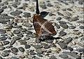 347紫單帶蛺蝶2(游釗敏攝) (18858729188).jpg