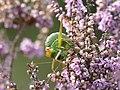 4 zadelsprinkhaan Ephippeger ephipigger vrouw eet spermatofylaxP1210059 (2).jpg