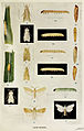 65-Indian-Insect-Life - Harold Maxwell-Lefroy - Cane-borers.jpg