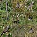 A Common Buzzard in the Ooijpolder near Nijmegen, presented as a composition - panoramio.jpg