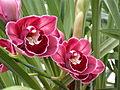A and B Larsen orchids - Cymbidium Rolf Bolin Red Velvet DSCN4712.JPG