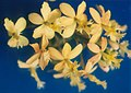 A and B Larsen orchids - Epidendrum radicans yellow 250-9.jpg