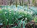 A carpet of snowdrops - geograph.org.uk - 1212360.jpg