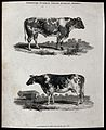 A cow and bull of the Durham short-horned breed. Etching, ca Wellcome V0021712EL.jpg