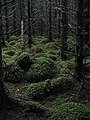 A dark forest - geograph.org.uk - 901640.jpg