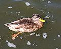 A duck story (4443903335).jpg