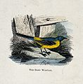 A grey wagtail (Motacilla melanope). Coloured engraving by W Wellcome V0022225EL.jpg