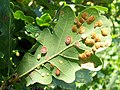 A load of galls (3901436701).jpg