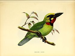 A monograph of the Capitonidæ, or scansorial barbets (20149429966).jpg
