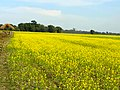 A mustard field in North Lakhimpur.jpg